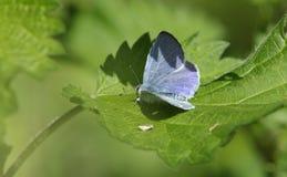 Un argiolus renversant de Holly Blue Butterfly Celastrina étant perché sur une feuille d'ortie cuisante Photo libre de droits