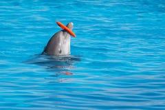 Un aro de giro entrenado del delfín en la piscina Fotografía de archivo