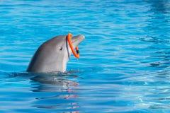 Un aro de giro entrenado del delfín en la piscina Fotografía de archivo libre de regalías