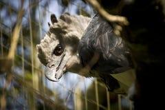 Un'arpia nella cattività Immagini Stock Libere da Diritti