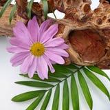 Un arreglo púrpura del aster del crisantemo Imagenes de archivo