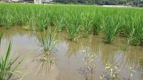 Un arroz dañado en el campo pasando corriendo el jumbo Tanishi de Guinea almacen de metraje de vídeo