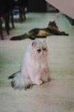 Un art du portrait d'un chat dans le café avec la lumière molle et le foyer mou Détendez et soulagez Photographie stock libre de droits