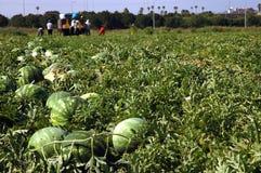Un artel agricole sur pastèques Image libre de droits