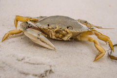 Un-artiglio Crab2 immagine stock