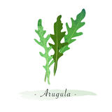 Un arugula végétal sain d'aquarelle de vecteur coloré de texture Photo stock