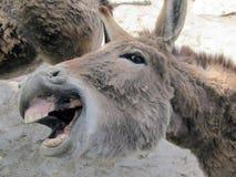 Un asino mostra i sorrisi dei denti immagine stock libera da diritti