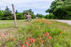 Un asino in Texas Field dei Wildflowers Fotografia Stock Libera da Diritti