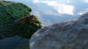 Un astacus astacus latino del gambero di fiume americano su una pietra con le alghe verdi discende nell'acqua archivi video