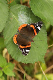 Un atalanta di ammiraglio abbastanza rosso Butterfly Vanessa si è appollaiato su una foglia Immagini Stock