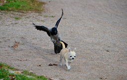 Un ataque del perro de caza imagen de archivo libre de regalías