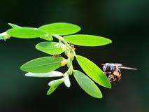 Un aterrizaje de la abeja en la hoja Imagenes de archivo