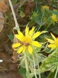 Un aterrizaje de la abeja en las flores Imágenes de archivo libres de regalías