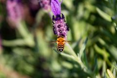 Un aterrizaje de la abeja de la miel en el romero Imágenes de archivo libres de regalías