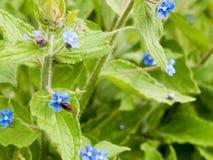 Un aterrizaje de la abeja sobre una flor azul y cosecha de su polen con Imagen de archivo libre de regalías