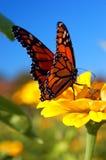 Un aterrizaje de la mariposa de monarca en una flor Fotografía de archivo libre de regalías