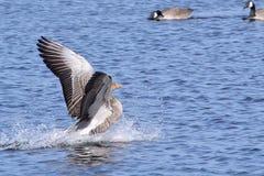 Un aterrizaje gris del ganso del retraso en el lago Imagenes de archivo