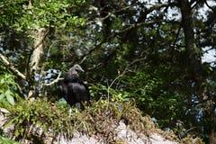 Un atratus giovanile del Coragyps dell'avvoltoio nero Fotografia Stock Libera da Diritti