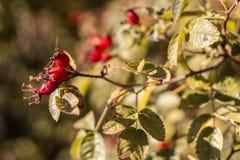 Un'attaccatura rossa dei berrys di una pianta colori verdi rossi gialli fotografia stock