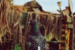 Un attento, piccione appollaiato su un palo macchiato fotografia stock libera da diritti