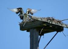 Un atterraggio brusco del falco pescatore! fotografie stock