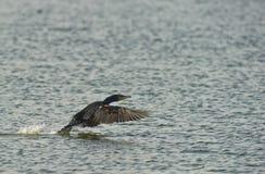 Un atterraggio del Cormorant sull'acqua Fotografie Stock