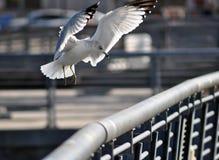Un atterraggio del gabbiano Fotografia Stock