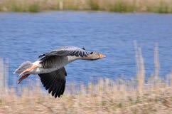 Un atterrissage gris d'oie de retard dans le lac photo libre de droits