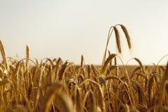 Un aumento di due orecchie del grano alto sopra il campo Fotografia Stock Libera da Diritti