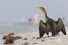 Un auritus double-crêté de Phalacrocorax de cormoran séchant ses plumes sur la plage appréciant la chaleur du soleil vu photos libres de droits