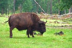 Un aurochs dans la forêt d'été Images libres de droits