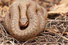 Un austriaca lisse rare de Coronella de serpent a lové dans la broussaille images stock