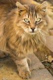 Un autre portrait d'un chat sans abri de rue Image libre de droits