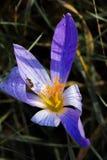 Un autumnale abierto del Colchicum Azafrán de otoño de la belleza con la abeja Foto de archivo