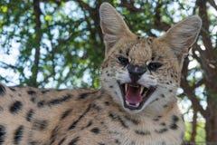 Un avant fâché de grondement de serval dessus Photographie stock