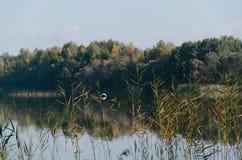 Un ave zancuda blanca de la garza hern está volando sobre el lago Imagenes de archivo