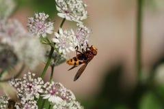 Un avispón grande poliniza una flor del astrantia en el jardín en primer del verano Imágenes de archivo libres de regalías