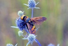 Un avispón rayado grande se sienta en una flor seca en un campo Imagen de archivo