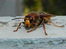 Un avisp?n grande se est? sentando en un ?rbol Insecto grande y peligroso que se sienta despu?s Detalles y primer fotografía de archivo libre de regalías