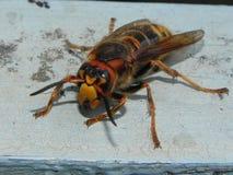Un avisp?n grande se est? sentando en un ?rbol Insecto grande y peligroso que se sienta despu?s Detalles y primer fotos de archivo