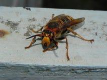 Un avisp?n grande se est? sentando en un ?rbol Insecto grande y peligroso que se sienta despu?s Detalles y primer imagenes de archivo