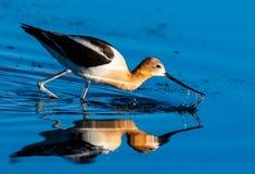 Un'avocetta americana che foraggia per l'alimento nell'acqua bassa di un lago fotografie stock libere da diritti