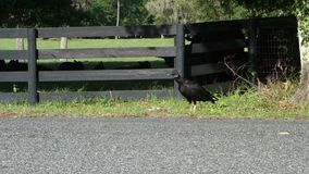 Un avvoltoio al ocala, Florida stock footage