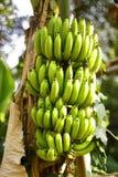 Un'azienda agricola organica della banana immagini stock libere da diritti