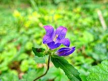 Un azul y una púrpura muy hermosas colorearon campanilla Fotografía de archivo libre de regalías