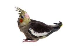 Un bébé de perruche de cockatiel Images stock