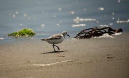 Un bécasseau marchant sur la plage aux eaux affilent photos libres de droits