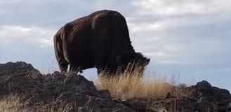 Un búfalo imagenes de archivo