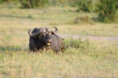 Un búfalo africano salvaje que se sienta en prado de la sabana Imágenes de archivo libres de regalías