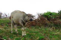 Un búfalo de agua amarillo Foto de archivo libre de regalías